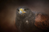 Portrait of the Harris Hawk Reproduction procédé giclée par Jai Johnson