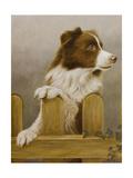 Australian Sheep Dog Giclee Print by John Silver