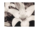 White Stargazer Giclee Print by Mindy Sommers