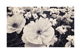 White Poppy Field Giclee Print by Mindy Sommers