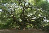 Angel Oak Fotografisk trykk av Robert Goldwitz