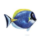 Fish 4 Blue-Yellow Reproduction procédé giclée par Olga And Alexey Drozdov