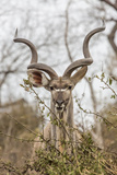 South Londolozi Private Game Reserve. Adult Greater Kudu Fotografisk trykk av Fred Lord