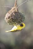 Swakopmund, Namibia. African-Masked Weaver Building a Nest Reproduction photographique par Janet Muir