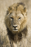 Okavango Delta, Botswana. Close-up of a Male Lion Approaching Head On Fotografisk tryk af Janet Muir