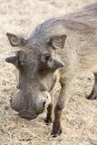 Namibia, Windhoek, Okapuka Ranch. Close-up of Warthog Fotografisk trykk av Wendy Kaveney