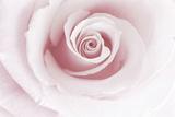 Rose Abstract Fotografisk trykk av Anna Miller