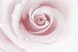 Rose Abstract Premium-Fotodruck von Anna Miller