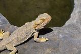 Australia, Alice Springs. Bearded Dragon by Small Pool of Water Fotografie-Druck von Cindy Miller Hopkins