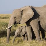 Kenya, Amboseli National Park, Elephant (Loxodanta Africana) Lámina fotográfica por Alison Jones