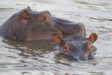 Hippos Swim Beside Each Other, Ngorongoro Conservation Area, Tanzania Lámina fotográfica por James Heupel