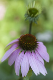Pink Coneflowers Photographic Print by Anna Miller