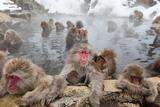 Japanese Macaque, Snow Monkey, Joshin-etsu NP, Honshu, Japan Lámina fotográfica por Peter Adams