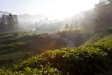 Tea Plantations and Road, Munnar, Western Ghats, Kerala, South India Fotografie-Druck von Peter Adams