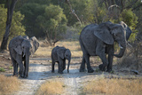 Elephant Family, Mother, Juvenile and Baby, Walking on Path Fotografisk tryk af Sheila Haddad