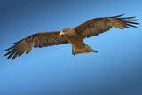 Tawny Eagle Flying, Filling Frame Photographic Print by Sheila Haddad