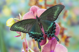 Alpine Black Swallowtail Butterfly, Papilio Maackii Photographic Print by Darrell Gulin