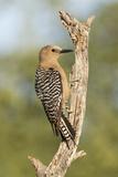 USA, Arizona, Amado. Female Gila Woodpecker on Dead Tree Trunk Photographic Print by Wendy Kaveney