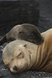 Galapagos Sea Lion Mom and New Pup, Rabida Island, Galapagos, Ecuador Lámina fotográfica por Pete Oxford