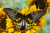 Rippon's Birdwing Butterfly, Female, Troides Hypolitus Photographic Print by Darrell Gulin