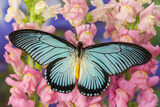 African Giant Blue Swallowtail Butterfly, Papilio Zalmoxis Photographic Print by Darrell Gulin