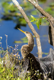 Anhinga Drying its Wings, Anhinga Trail, Everglades NP, Florida Photographic Print by Chuck Haney