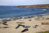 Elephant Seals, Piedras Blancas, San Simeon, California Fotografisk tryk af Peter Bennett