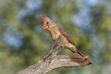 USA, Arizona, Amado. Female Cardinal on Branch Photographic Print by Wendy Kaveney