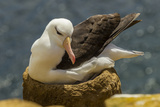 Falkland Islands, Saunders Island. Black-Browed Albatross on Nest Reproduction photographique par Cathy & Gordon Illg