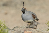USA, Arizona, Amado. Male Gambel's Quail with Chick Photographic Print by Wendy Kaveney