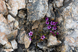 Norway. Svalbard. Kongsfjorden. Saxifrage Growing Amidst the Rocks Photographic Print by Inger Hogstrom