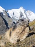 Alpine Marmot in the Hohe Tauern, Mount Grossglockner. Austria Fotografisk trykk av Martin Zwick