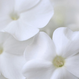 White Phlox Photographic Print by Anna Miller