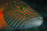 Lined Cheeked Wrasse (Oxycheilinus Digrammus), Rainbow Reef, Fiji Fotografie-Druck von Pete Oxford