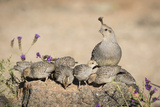 USA, Arizona, Amado. Female Gambel's Quail with Chicks Lámina fotográfica prémium por Wendy Kaveney