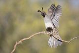 USA, Arizona, Buckeye. Female Gambel's Quail Raises Wings on Branch Photographic Print by Wendy Kaveney