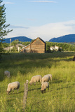 Bozeman, Montana, View of Sheep and Barn in Beautiful Green Fields Lámina fotográfica por Bill Bachmann