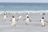 Gentoo Penguin Walking to their Rookery, Falkland Islands Reproduction photographique par Martin Zwick