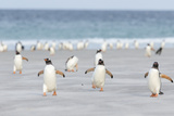Gentoo Penguin Walking to their Rookery, Falkland Islands Fotografie-Druck von Martin Zwick