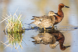 Wyoming, Sublette, Cinnamon Teal Pair Standing in Pond with Reflection Reproduction photographique par Elizabeth Boehm