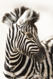 Etosha NP, Namibia, Africa. Close-up of a Young Mountain Zebra Foto af Janet Muir