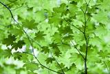 USA, California, Redwoods NP. Spring Canopy of Vine Maple Leaves Fotografisk trykk av Jean Carter