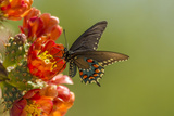Arizona, Sonoran Desert. Pipevine Swallowtail Butterfly on Blossom Photographic Print by Cathy & Gordon Illg