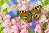 The European Peacock Butterfly, Inachis Io Photographic Print by Darrell Gulin