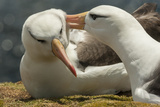 Falkland Islands, Saunders Island. Black-Browed Albatross Courtship Reproduction photographique par Cathy & Gordon Illg