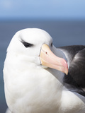 Black-Browed Albatross or Mollymawk, Portrait. Falkland Islands Reproduction photographique par Martin Zwick
