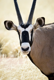 Namib and Nature Reserve, Namibia. a Close-up of a Gemsbok (Oryx) Fotografía por Janet Muir