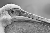 Walvis Bay, Namibia. Extreme Close-up of Eastern White Pelican Foto von Janet Muir