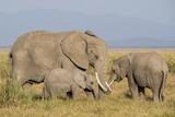 Kenya, Amboseli National Park, Elephant (Loxodanta Africana) Fotografía por Alison Jones