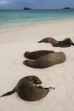 Galapagos Sea Lions Gardner Bay, Hood Island, Galapagos, Ecuador Lámina fotográfica por Pete Oxford